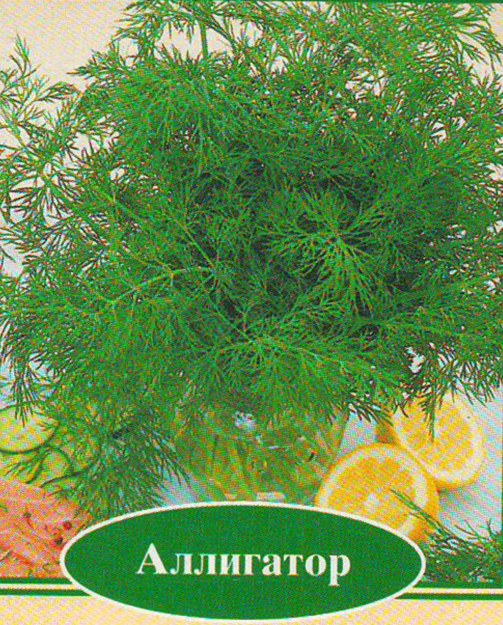 """Укроп """"аллигатор отзывы, время посадки, особенности выращивания"""