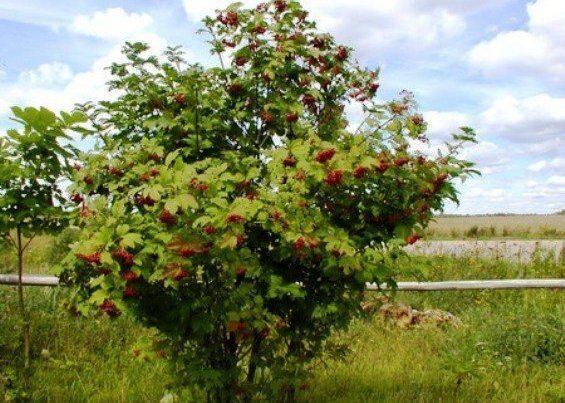 дерево калины фото