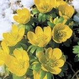 Весенник cilicica (Winter Aconite)