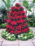 68171651_poinsettiatree